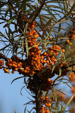 rosales:   Common sea-buckthorn (Hippophae rhamnoides), a typical plant of coastal regions in europe. Stock Photo