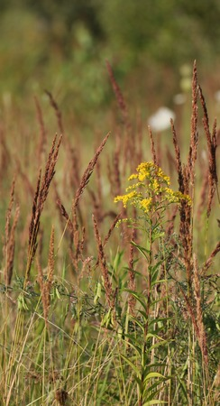 spiked:   Giant Goldenrod (Solidago gigantea) flowering between spiked grasses.