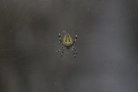 Four-spot orb-weaver (Araneus quadratus) sitting in its web. photo