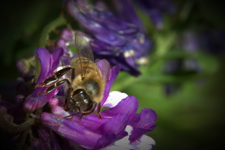 Western honey bee (Apis mellifera) gathering nectar from a vetch blossom. Vignetting was applied. photo