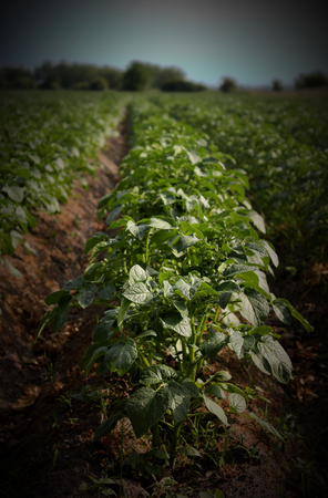 vignetting:   Potato plants in rows. Vignetting was applied.
