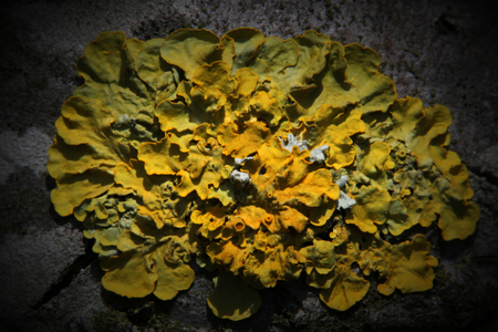 mutualism:   Yellow lichen on bark. Vignetting was applied.
