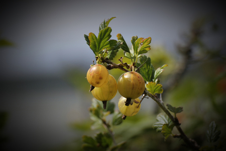 ribes:   Fresh gooseberry (Ribes uva-crispa) hanging on a twig. Vignetting was applied. Stock Photo