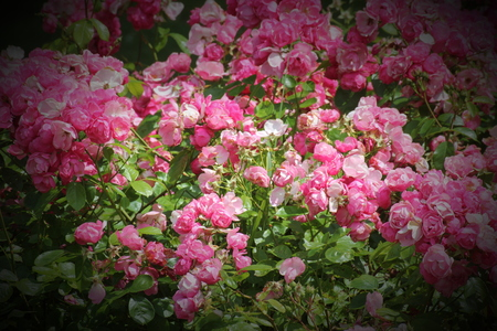 Ornamental red and pink roses (Rosa). Vignetting was applied. photo
