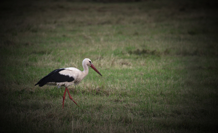 image created 21st century:   A white stork (Ciconia ciconia) standing on a meadow. Vignetting was applied.