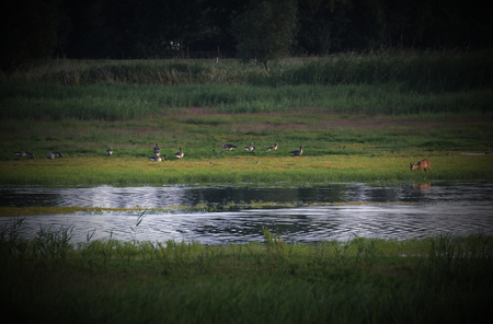 image created 21st century:   Wetlands near Greifswald, Mecklenburg-Vorpommern, Germany, with geese and a young roe deer. Vignetting was applied.