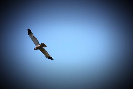 image created 21st century:   Western marsh harrier (Circus aeruginosus) in flight. Vignetting was applied.