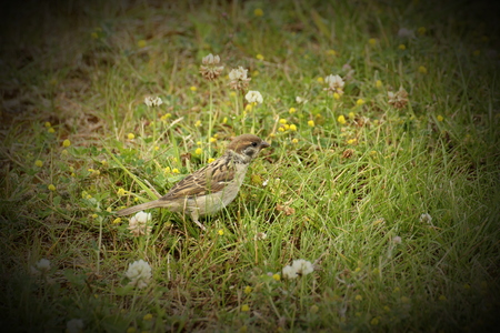 nibbling:   Female house sparrow (Passer domesticus) in the grass, nibbling on clover blossoms. Vignetting was applied.