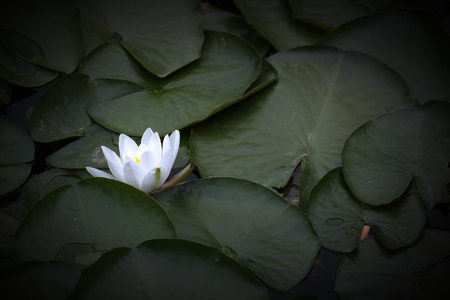 image created 21st century:   Waterlily (Nymphaea candida resp. Nymphaea alba) blossom. Vignetting was applied.