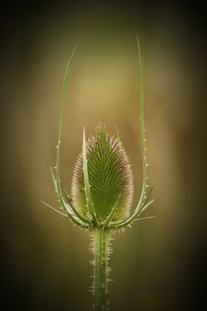 pointing herbs:   Head of a wild teasel (Dipsacus fullonum) with two long thorny appendages. Vignetting was applied.
