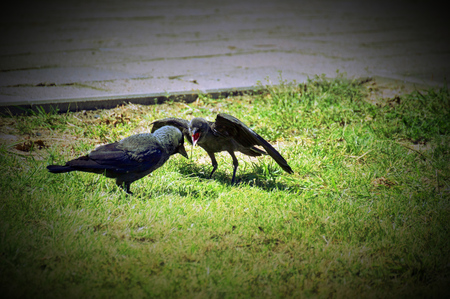 Westerm jackdaw (Corvus monedula) begging his mother for food. Vignetting was applied. photo