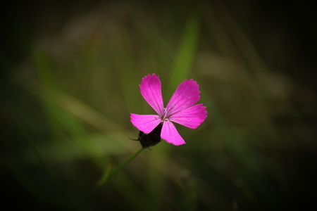 image created 21st century:   A pink flower head with defocused background. Vignetting was applied.