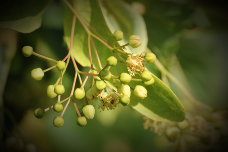vignetting:   Fruits hanging at a basswood (Tilia) tree. Vignetting was applied.