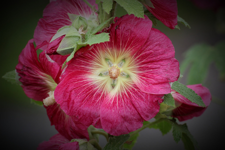 image created 21st century:   Common hollyhock (Alcea rosea) in a garden. Vignetting was applied. Stock Photo