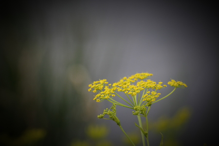 umbel:   Umbel of parsnip (Pastinaca sativa) with blossoms. Vignetting was applied. Stock Photo
