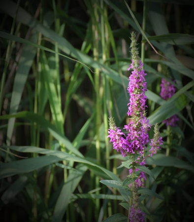 myrtales:   Blossoms of european wand loosestrife (Lythrum virgatum) with reed in background. Vignetting was applied.