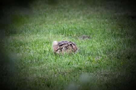 alertness:   European hare (Lepus europaeus) sitting in grass and watching in alertness. Vignetting was applied. Stock Photo
