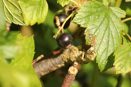 ribes:   Josta fruit (Ribes nidigrolaria), a hybrid from black currant (Ribes nigrum), the North American coastal black gooseberry (Ribes divaricatum), and the European gooseberry (Ribes uva-crispa).