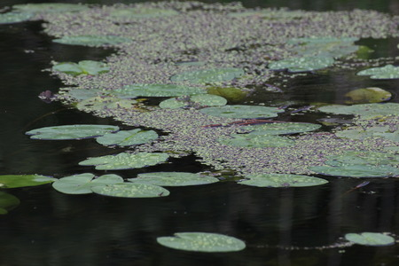 image created 21st century:   Duckweed (Lemna) floating on water surface between pond-lily (Nuphar) leaves. Stock Photo