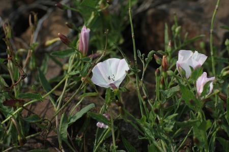 arvensis:   Field bindweed (Convolvulus arvensis) growing on gravel rocks. Stock Photo