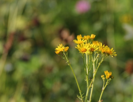 senecio:   Blossoms of the ragwort (Senecio jacobaea). Stock Photo