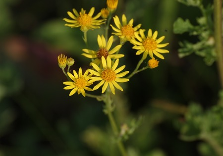 willy:   Blossoms of the ragwort (Senecio jacobaea). Stock Photo