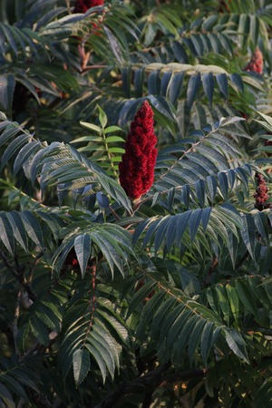 staghorn:   Staghorn sumac (Rhus typhina) blossom.