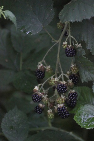 image created 21st century:   Ripe and unripe blackberries (Rubus). Artistic color rendering due to push processing. Stock Photo