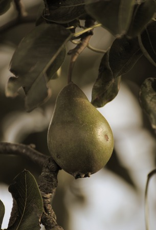 sepia toning:   Pear fruit in evening sunlight with sepia toning.