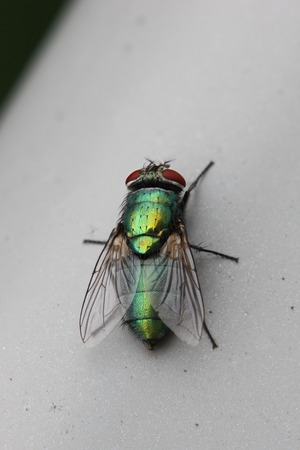 multicolored eye macro:   Green bottle fly (Lucilia) sitting on railing.
