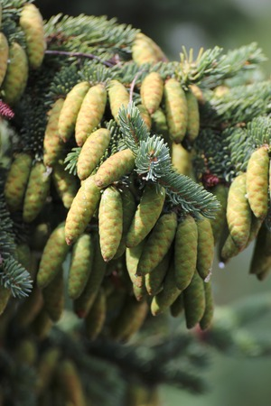 image created 21st century:   Young cones of the white spruce (Picea glauca).