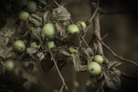 image created 21st century:   Green apples in a old-fashioned foto with sepia toning and vignetting. Stock Photo