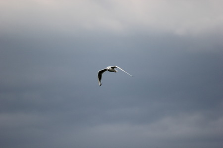 image created 21st century:   Black-Headed Gull (Chroicocephalus ridibundus) flying on a cloudy day.