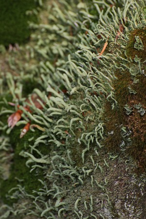 image created 21st century:   Moss and lichen (Cup lichen - Cladonia) on decomposing wood. Stock Photo