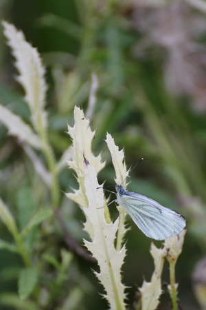 image created 21st century:   Butterfly on a white thistle leaf. Stock Photo