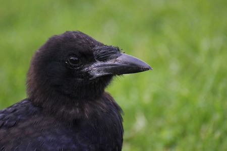 image created 21st century: Carrion crow (Corvus corone) close-up.