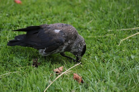 brindled: Brindled westerm jackdaw (Corvus monedula) eating on grass. Stock Photo