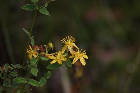 rosin: Blossoms of spotted St Johns wort (Hypericum maculatum ssp obtusiusculum).