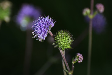 The Devils-bit Scabious (Succisa pratensis) with different stages of flower and fruit development. photo