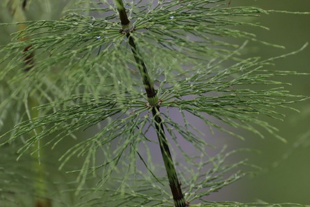 Leaf node of a wood horsetail (Equisetum sylvaticum) in Sweden. photo