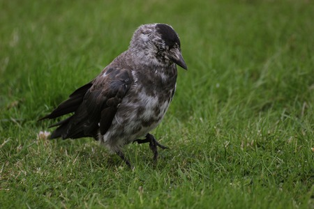 brindled: Brindled westerm jackdaw (Corvus monedula) on grass. Stock Photo