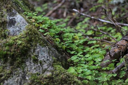 false shamrock: Wood sorrels (Oxalis) in Sweden.