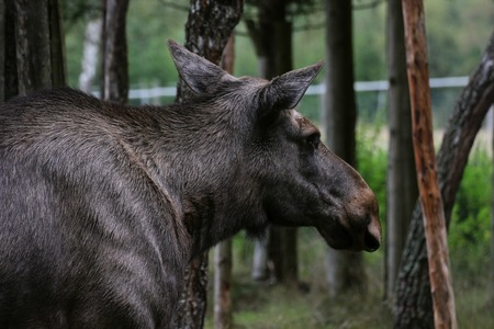 Image of a moose in sweden. photo
