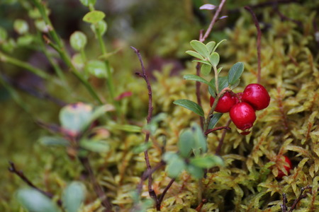 image created 21st century: European blueberry (Vaccinium myrtillus) in Sweden.