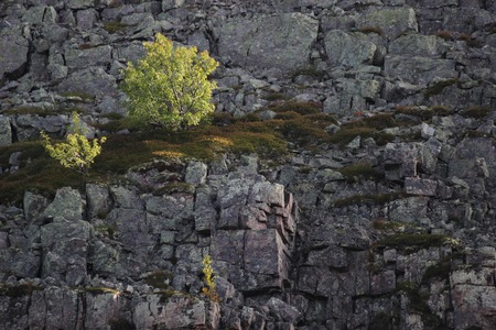 meagre: Cliff with a birch growing on rock spur.