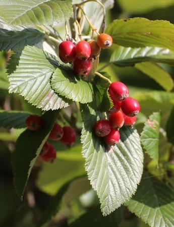 sorbus: Fruits of whitebeam (Sorbus aria).