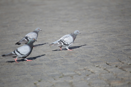 Three city doves (Columba livia domestica), walking on the marketplace of Greifswald, Mecklenburg-Vorpommern, Germany. photo