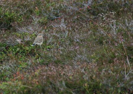scandinavian peninsula: Northern wheatear (Oenanthe oenanthe) in non-breeding plumage.