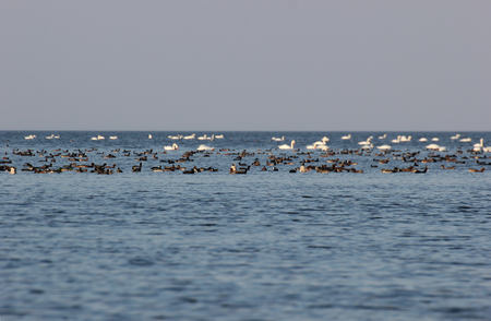 image created 21st century: Various water birds, e.g. swans and ducks, swimming on sea. Stock Photo
