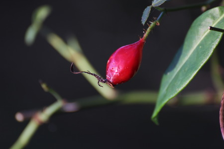 image created 21st century: Rose hip and defocused background.